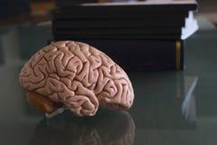 人脑模型和课本 免版税库存照片