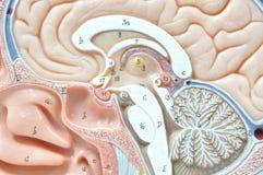 人脑模型 免版税库存图片