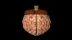 人脑的动画在垂直的自转的 皇族释放例证