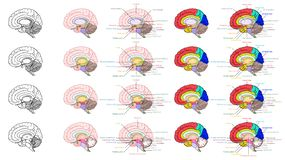 人脑解剖学侧视图的部分 向量例证