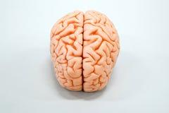 人脑解剖学模型 图库摄影