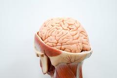 人脑解剖学模型 库存图片