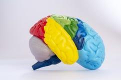人脑解剖学的五颜六色的横断面 免版税库存图片