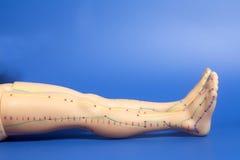 人脚医疗针灸模型在蓝色的 库存图片