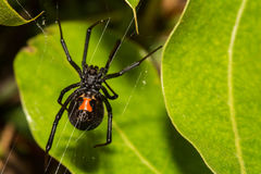 黑人蜘蛛寡妇 免版税库存照片