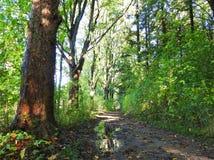人行道在森林,立陶宛里 库存照片