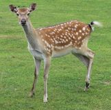 年轻人被察觉的小鹿鹿 库存图片