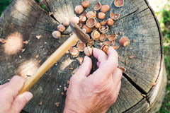 人裂化的榛子在后院 免版税库存图片