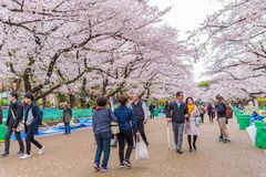 人观看的樱花和放松在佐仓节日a 免版税库存图片