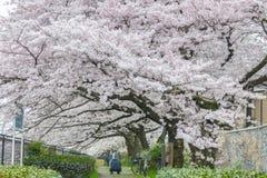 人观看的樱花和放松在立川市公园, T 库存图片