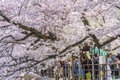 人观看的樱花和放松在Chidorigafuchi pa 库存照片