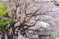 人观看的樱花和放松在Chidorigafuchi pa 库存图片