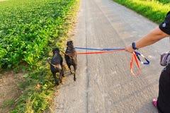 人走与两条狗在皮带 库存图片