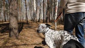 人走与狗在秋天公园晴天 供以人员走与一条达尔马希亚狗,从后面的看法 免版税库存照片
