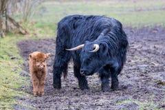 黑人近站立棕色小牛的母亲苏格兰高地居民母牛 库存图片