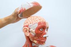 人递解剖学 免版税库存图片