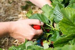年轻人递pickng新鲜的水多的红色草莓 免版税图库摄影