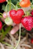 年轻人递pickng新鲜的水多的红色草莓 库存图片