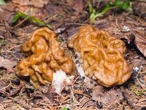 人造的草笠竹或Gyromitra esculenta春天毒蘑菇宏指令,选择聚焦,浅DOF 免版税库存图片