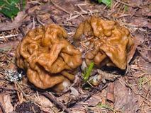 人造的草笠竹或Gyromitra esculenta春天毒蘑菇宏指令,选择聚焦,浅DOF 免版税库存照片