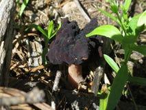 人造的草笠竹- esculenta的Gyromitra 库存照片