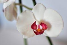 人造花,兰花植物 库存照片