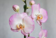 人造花,兰花植物 库存图片