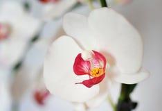 人造花,兰花植物 免版税图库摄影
