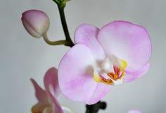 人造花,兰花植物 图库摄影