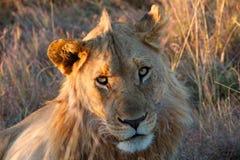 年轻人部分地有鬃毛的公狮子 库存图片