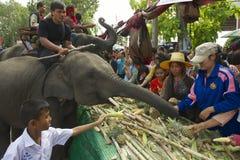 人饲料在大象自助餐n素林,泰国的婴孩大象 免版税库存图片
