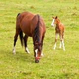 年轻人驹和母马在草甸 库存图片