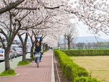 人骑马自行车在佐仓树下 免版税库存图片