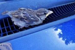 年轻人,在蓝色汽车空气滤栅(传球手Domesticus)困住的小麻雀 库存照片
