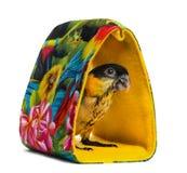 年轻人黑加盖了年纪)站立在袋子的鹦鹉(10个星期 免版税库存图片