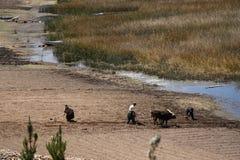 人们努力与犁一起使用在领域在玻利维亚 免版税库存照片