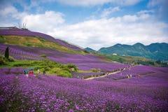 人们在淡紫色领域公园 图库摄影