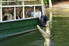 人们在Queensl观看盐水鳄鱼哺养在一条河 免版税库存照片