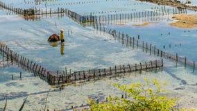 人们收集海草种植园海藻-努沙Penida,巴厘岛,印度尼西亚 免版税图库摄影