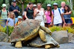 人们观看两加拉帕戈斯草龟联接 免版税库存照片