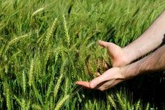 人` s在一个晴天递握在一个农场的绿色麦子耳朵 农业耕种在巴西 免版税库存图片