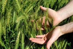 人` s在一个晴天递握在一个农场的绿色麦子耳朵 农业耕种在巴西 免版税库存照片