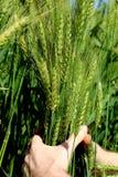 人` s在一个晴天递握在一个农场的绿色麦子耳朵 农业耕种在巴西 免版税图库摄影