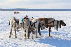年轻人Nenets女孩驾驶驯鹿雪撬 免版税库存图片