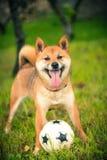 什巴与舌头的inu狗与球 库存照片