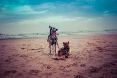 什巴inu和博德牧羊犬/carea利昂小狗与舌头在海滩与球和风景海的蓝色 免版税库存照片