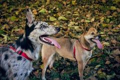 什巴inu和博德牧羊犬/carea利昂小狗与舌头,与一个秋天风景与下落的叶子 免版税库存图片