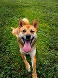 什巴inu -与一大tounge的愉快的狗 看照相机前面 图库摄影