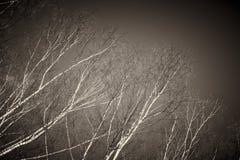 仅有的桦树分行 库存图片