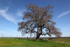 仅有的草绿色橡木春天结构树 免版税库存照片